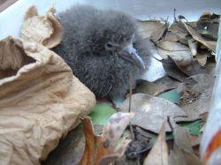 オオミズナギドリの赤ちゃん