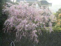 松川遊歩道の桜